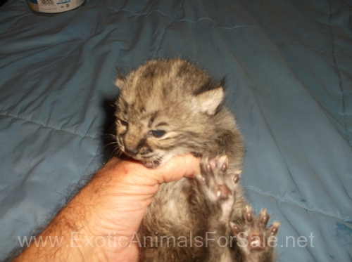 Bobcats For Sale