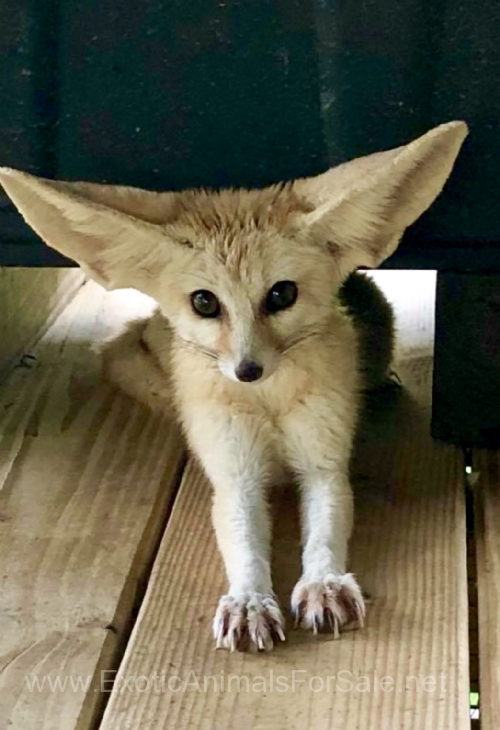 Young Breeder Fennec Fox Pairs Available For Sale