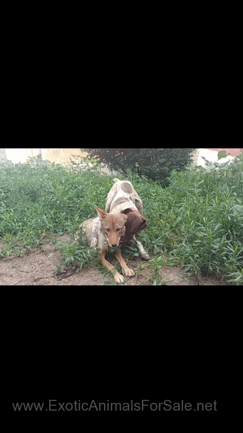 Coyote German Shorthaired Pointer Cross Puppies For Sale