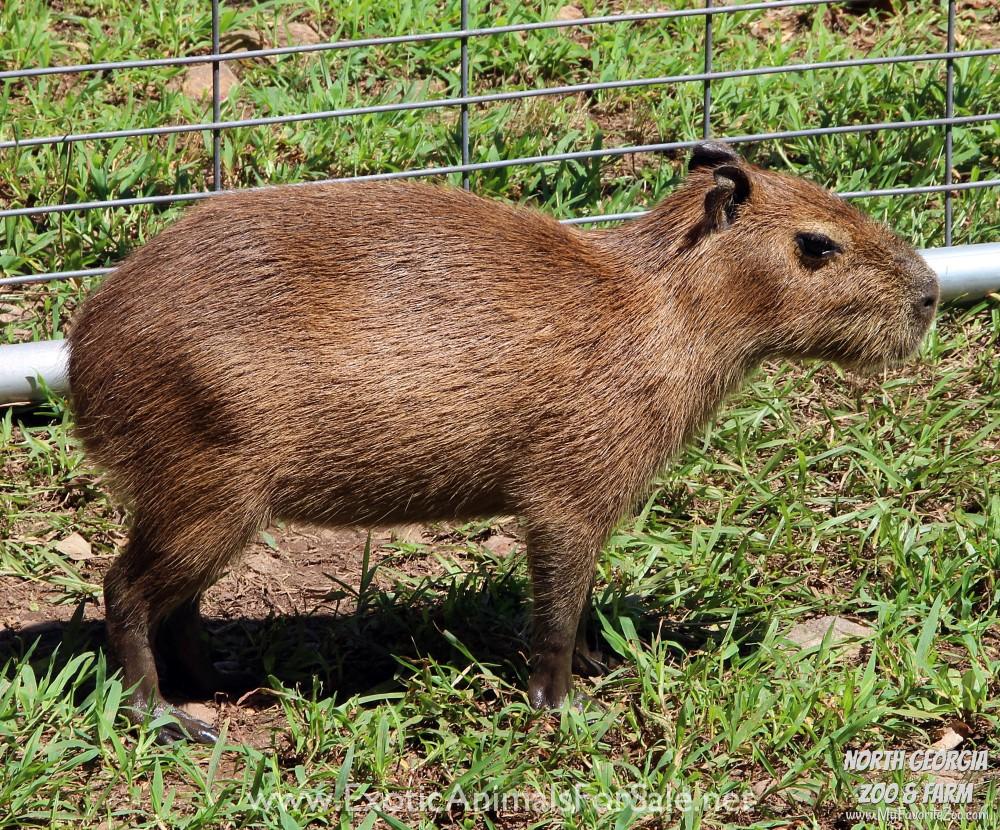 Capybara Adopt Me