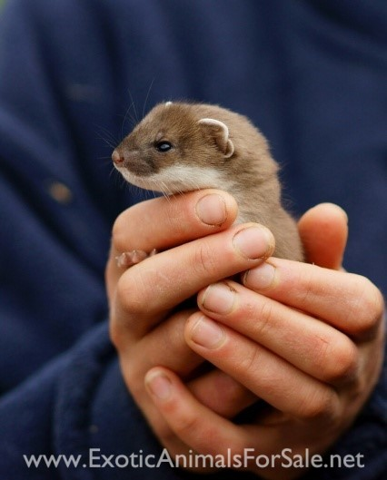 Ermines as Pets