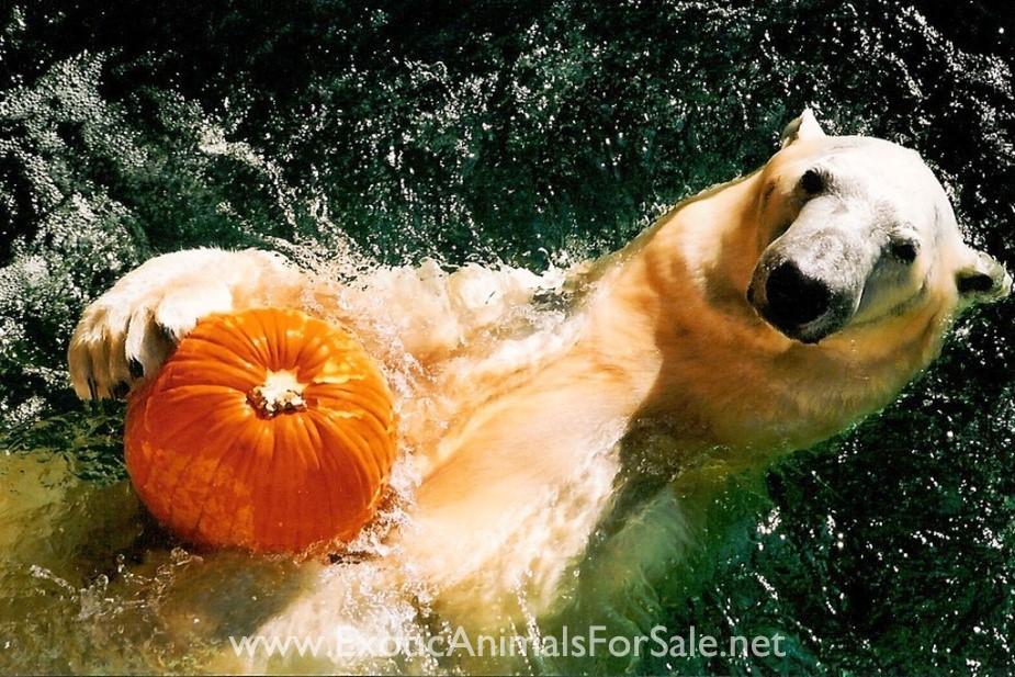 Polar Bear Pet