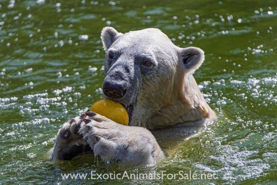Polar Bear Pool