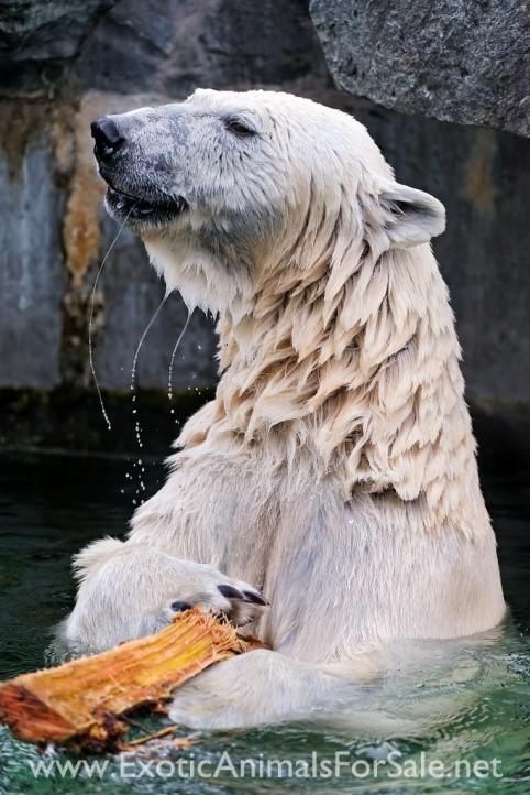Polar Bear with Stick