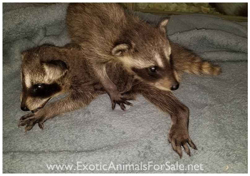 Raccoons For Sale
